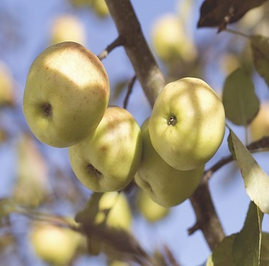 apples-691369_640_2