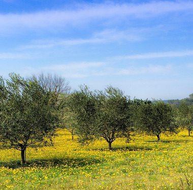 Oli da olive italiane: Evo Terra di Bari DOP