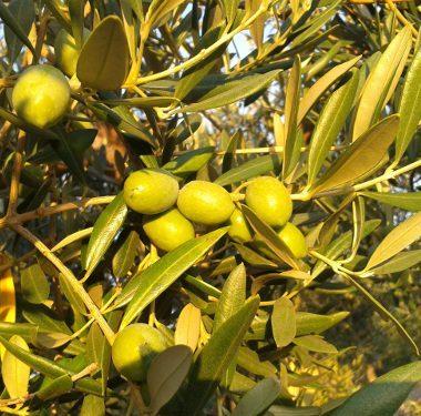 Oli da olive italiane: Evo Sabina DOP